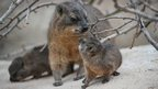 Rock Hyrax looks at its baby