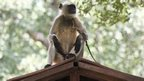 A langur monkey waits for its handler while a juvenile plays on the roof of a cabin at Parliament house in New Delhi on August 1, 2014.