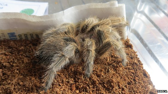 Incy the tarantula