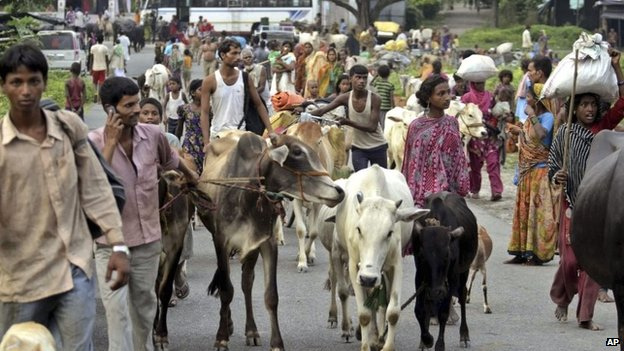 Indian villagers living along the Kosi River close to the Nepal border walk with their cattle as they move to safer places at Birpur in Supaul district of Bihar state, India, Sunday, Aug.3, 2014.