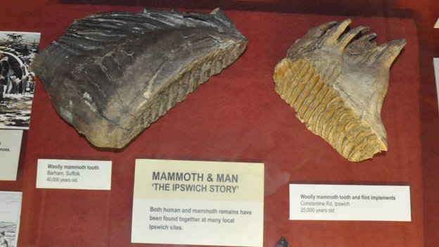 Woolly mammoth teeth, Ipswich Museum