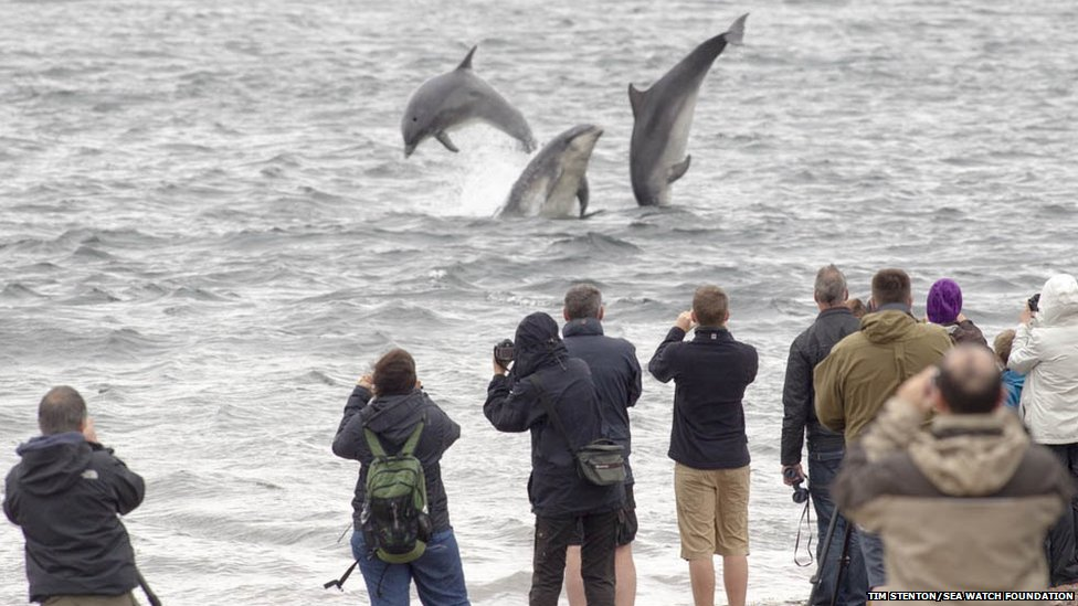 Bottlenose dolphins at Chanonry Point