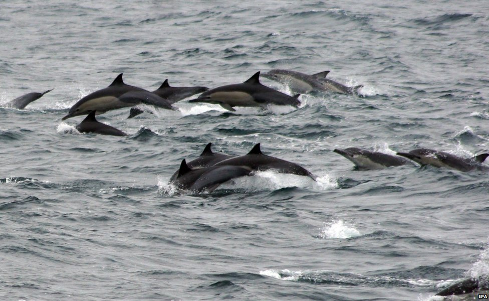 A group of more than 1,000 Pacific white-sided dolphins
