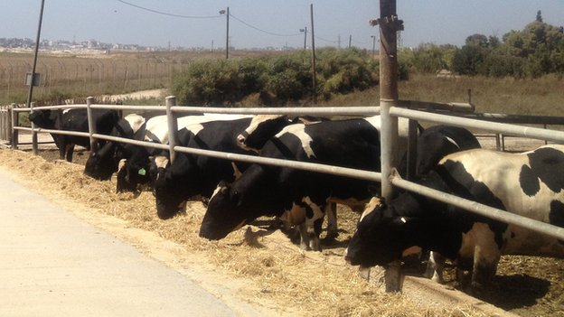 Cows on the Israeli border with the Gaza Strip