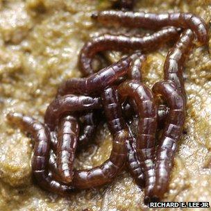Larvae of the midge Belgica antarctica