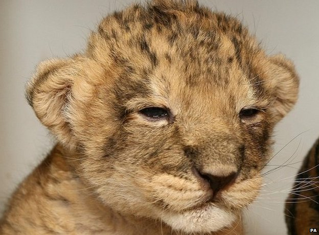 File photo of an Asiatic lion cub