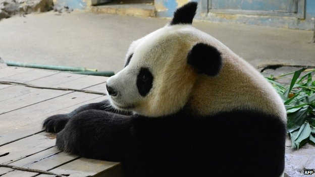 Mother panda of the triplets, named Juxiao