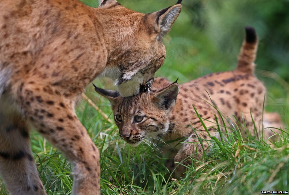 Carpathian Lynx kitten and mother