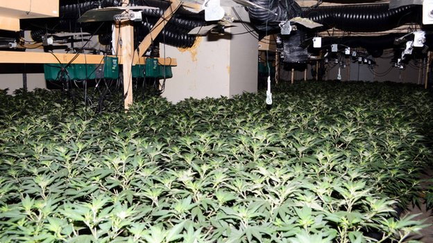 Cannabis farm in Whittlesey, Cambridgeshire