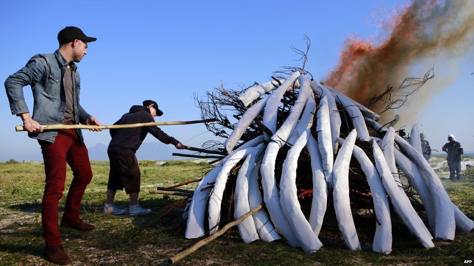 People use wooden sticks to set fire to a pile of fake ivory on 12 August  2014 during an event hosted by the Conservation Action Trust in Cape Town to commemorate the Kenyan ivory burning of 1989 and this year's World Elephant Day