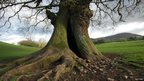 Wishing oak tree in Monmouthshire