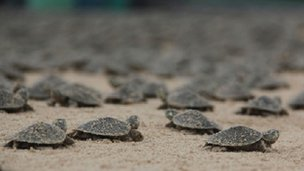 Turtle hatchlings (c) C Ferrera