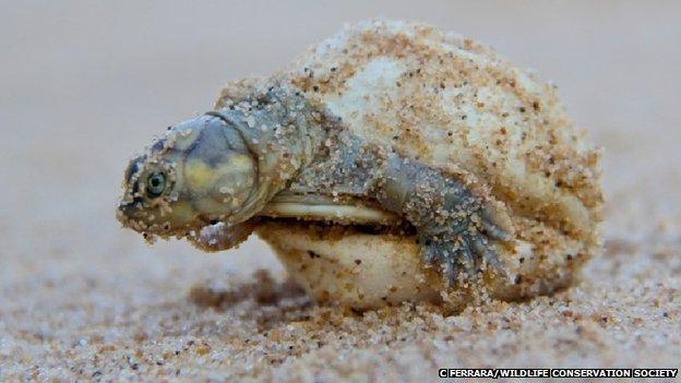 Turtle hatchling (c) C Ferrara/Wildlife Conservation Society
