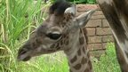 Baby giraffe Kamili at Houston Zoo