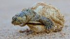 Turtle hatchling (c) C Ferrara/Wildlife Conservation Society