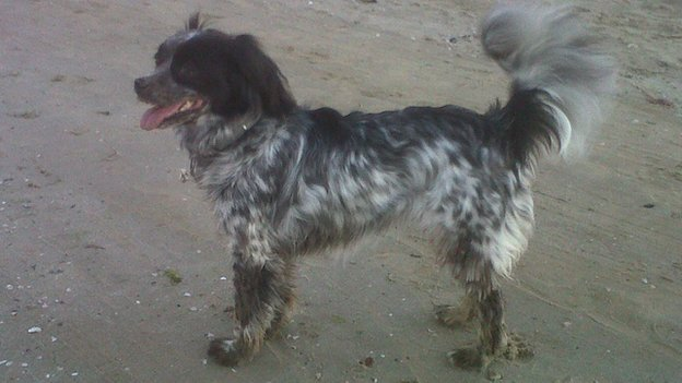 Black and white King Cavalier-Setter cross called Fabri