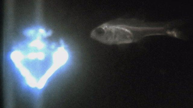 Cardinal fish and ostracod