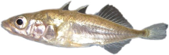 A stickleback minnow