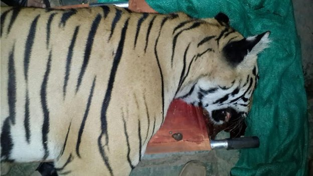 The tiger shot dead in Maharashtra on 19 August 2014