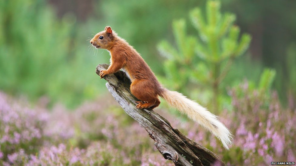 Red squirrel lookout (c) Pui Hang Miles