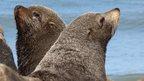 South American Fur Seal, Argentina (Arctocephalus australis)