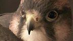 A bird of prey in a Tokyo animal cafe