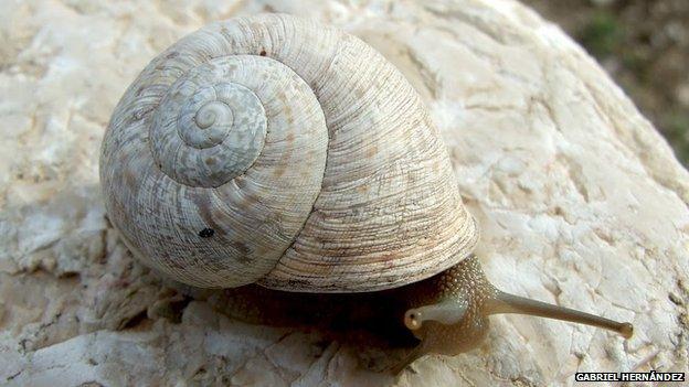 Iberus Alonensis snail