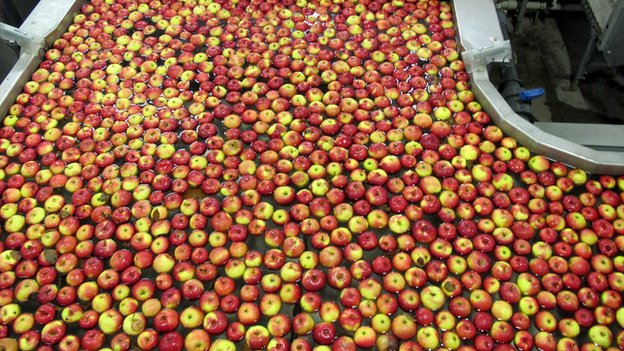 Apples being processed at farm