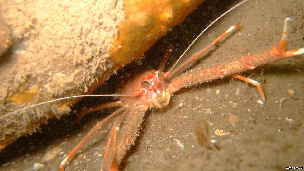 Long clawed squat lobster found in Porlock Bay