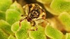Weed-munching Weevils for Canal