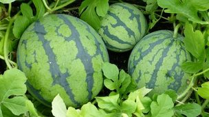 Watermelons at S&A Produce
