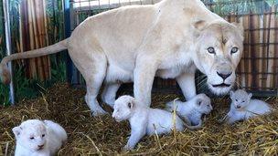 Lion cubs at circus,