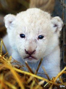 Lion cub at circus