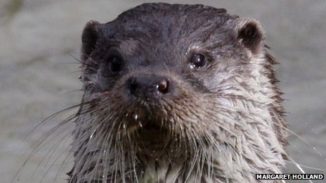 Otter in Nottinghamshire