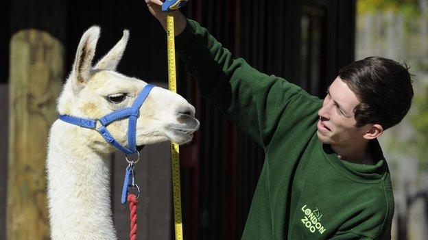 Llama measured at London Zoo