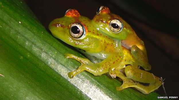 The 'boophis ankarafensis' tree frog