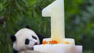Panda cub Bao Bao looks at her birthday cake