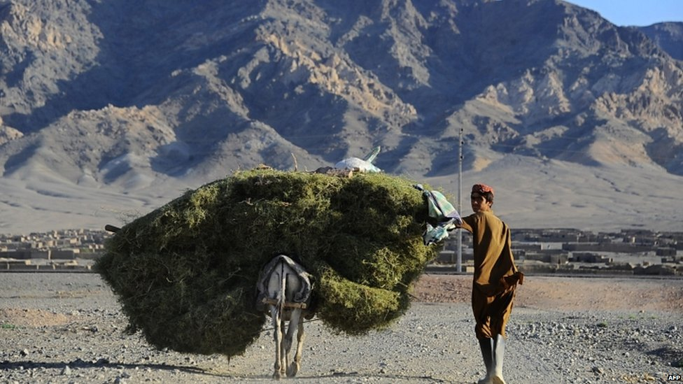 An Afghan man transports grass on his donkey on the outskirts of Herat