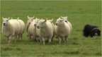 Sheepdog and flock