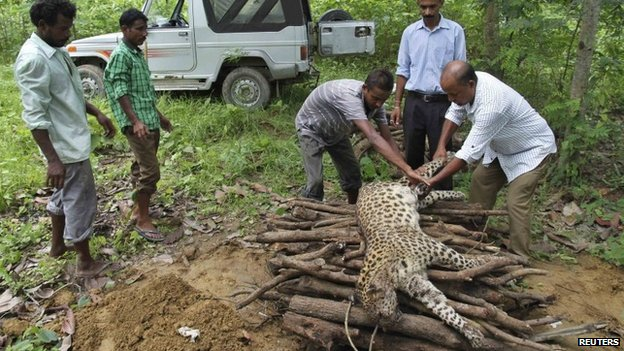 Forest officials prepare a pyre for a dead male leopard at Jorhat in the northeastern Indian state of Assam August 11, 2014. A local forest official said a group of tea workers killed the leopard on Sunday after it had attacked them, injuring four people.
