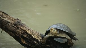 terrapin on a log