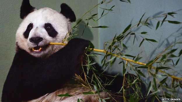 Tian Tian was artificially inseminated in April