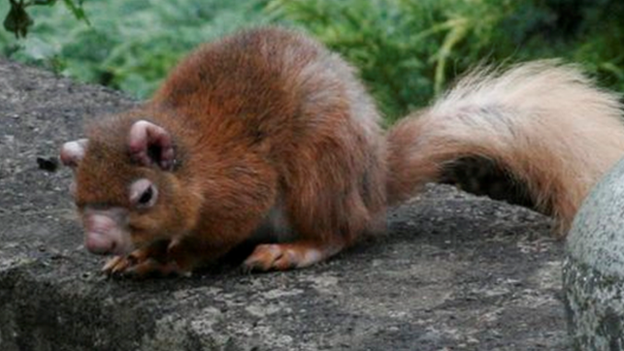 An infected red squirrel