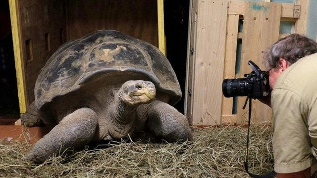 VIDEO: 100 year old tortoise is on the move...