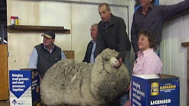 A super-woolly sheep