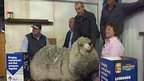 A super-woolly sheep