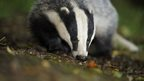Badger walking in undergrowth