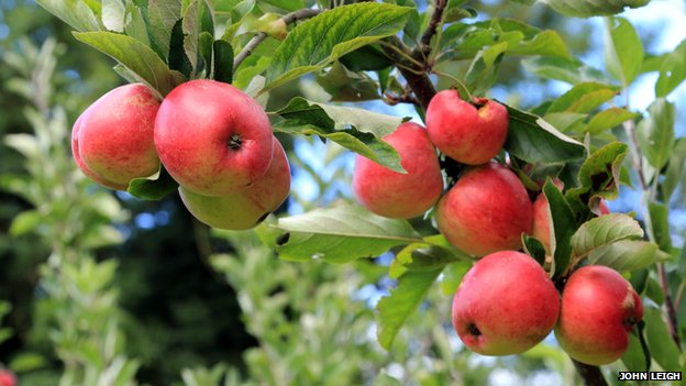 Chatsworth apples