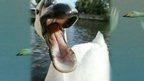 Naughty swan