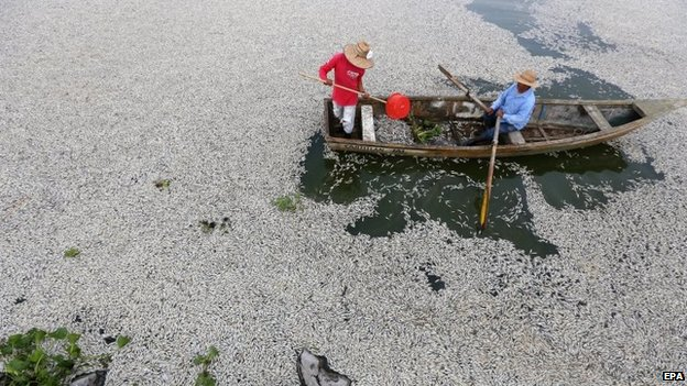 Fishermen removed dead fish from Cajititlan lake on 31 August 2014.